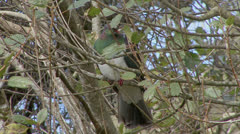 Kereru or NZ Pigeon NZ bush. Stock Footage