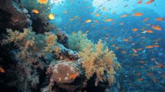 Red anthias at the reef Stock Footage