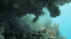 Shoal of bait fish under neath the table coral Stock Footage