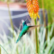 beautiful blue green hummingbird flying over a tropical orange flower kniphof - stock photo
