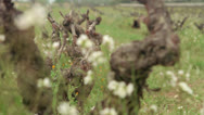 Stock Video Footage of rack focus flowers vineyard