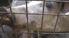 Pigs on the farm close up Stock Footage