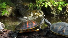 Stunning Turtle climbing over other Stock Footage