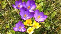 Purple Crocus flower blossom in Spring garden Stock Footage