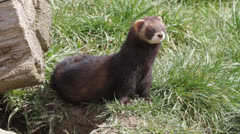 Polecat Stock Footage