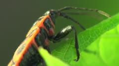 Firebug Spilostethus Pandurus, Macro Stock Footage