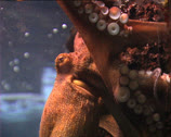 Stock Video Footage of OCTOPUS in aquarium