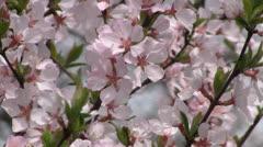 Blooming sakura tree Stock Footage