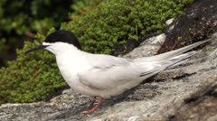 White Fronted Tern on rock on the west coast of  New Zealand. Stock Footage
