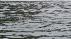 Chile, Chiloe, Floating Sea Otter Eating 1 Stock Footage