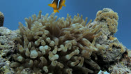 Stock Video Footage of clown fish landing on the anemone