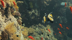 couple of banner fish at the reef - stock footage