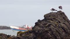 Chile, Chiloe, Puñihuil Wildlife Sanctuary, Great Black Backed Gulls Perch Stock Footage