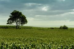Field of green corn with tree in azores island at the coast Stock Photos
