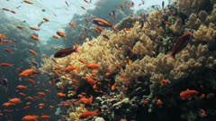 Clouds of red anthias Stock Footage