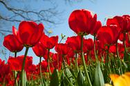 Stock Photo of tulips