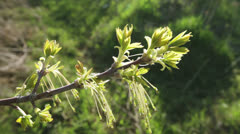 Buds with hanging stamens Stock Footage