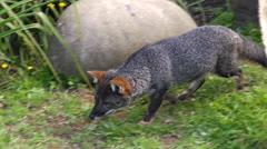 Chile, Chiloe, Darwin's Zorro, Darwin's Fox, Eating Mussels 2 Stock Footage