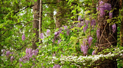 wisteria and dogwood blooms in pine forest - stock footage