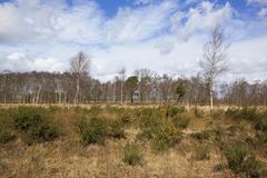 birch trees and gorse - stock photo