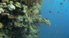 soft coral coverd by the red anthias - stock footage