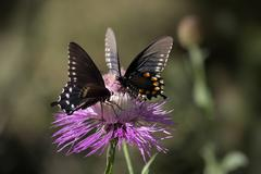 pipevine swallowtail (battus philenor) butterfly - stock photo