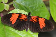 Stock Photo of heliconius butterfly