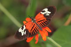 heliconius butterfly - stock photo