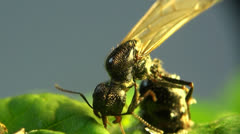 Ant aggressive defender - stock footage