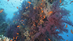 soft coral covered by glass fish and anthias - stock footage