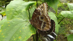 Stunning Slow Motion close up Butterfly Owl mating Stock Footage