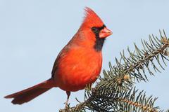 Cardinal on a branch Stock Photos