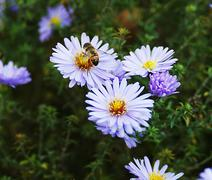 bee sits on a blue aster wildflowers in a field - stock photo