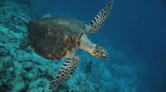 turtle swimming away - stock footage