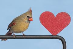 Cardinal with a heart Stock Photos