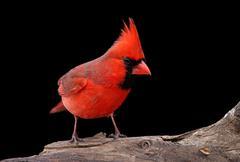 northern cardinal on a log - stock photo