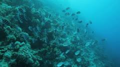 shoal of sergeant major - stock footage