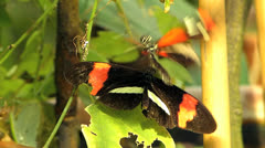Stunning Slow Motion Butterfly Postman courtship mating Stock Footage