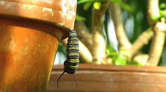 Stunning Butterfly monarch Cocoon Danaus plexippus Stock Footage