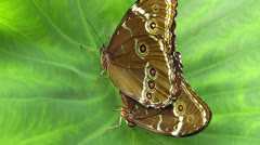 Stunning close up Butterfly Owl mating Stock Footage