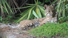 Wild Bobcat (Lynx rufus) in the Florida Everglades Stock Footage