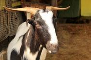 Stock Photo of south african indigenous veld goat close-up