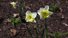 Two narcissus close up - stock footage
