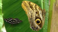 Stunning Butterfly OWL n Dot-Dash Sergeant (Athyma kanwa kanwa) Urinating pee Stock Footage