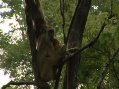 Female adult Savanna Baboons in tree with infants. Niassa Reserve, Mozambique. Stock Footage