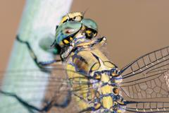 Dragonfly resting; particular Stock Photos