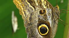 Stunning Butterfly OWL n Dot-Dash Sergeant (Athyma kanwa kanwa) Stock Footage