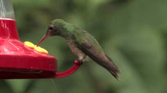 Buff-bellied Hummingbird CU male sips from Ruby-throated feeder wannabe - stock footage