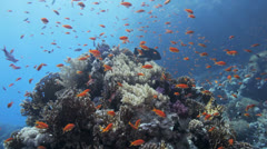 Red anthias covers the reef Stock Footage