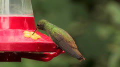 Buff-bellied Hummingbird female CU nervously sipping from feeder - stock footage